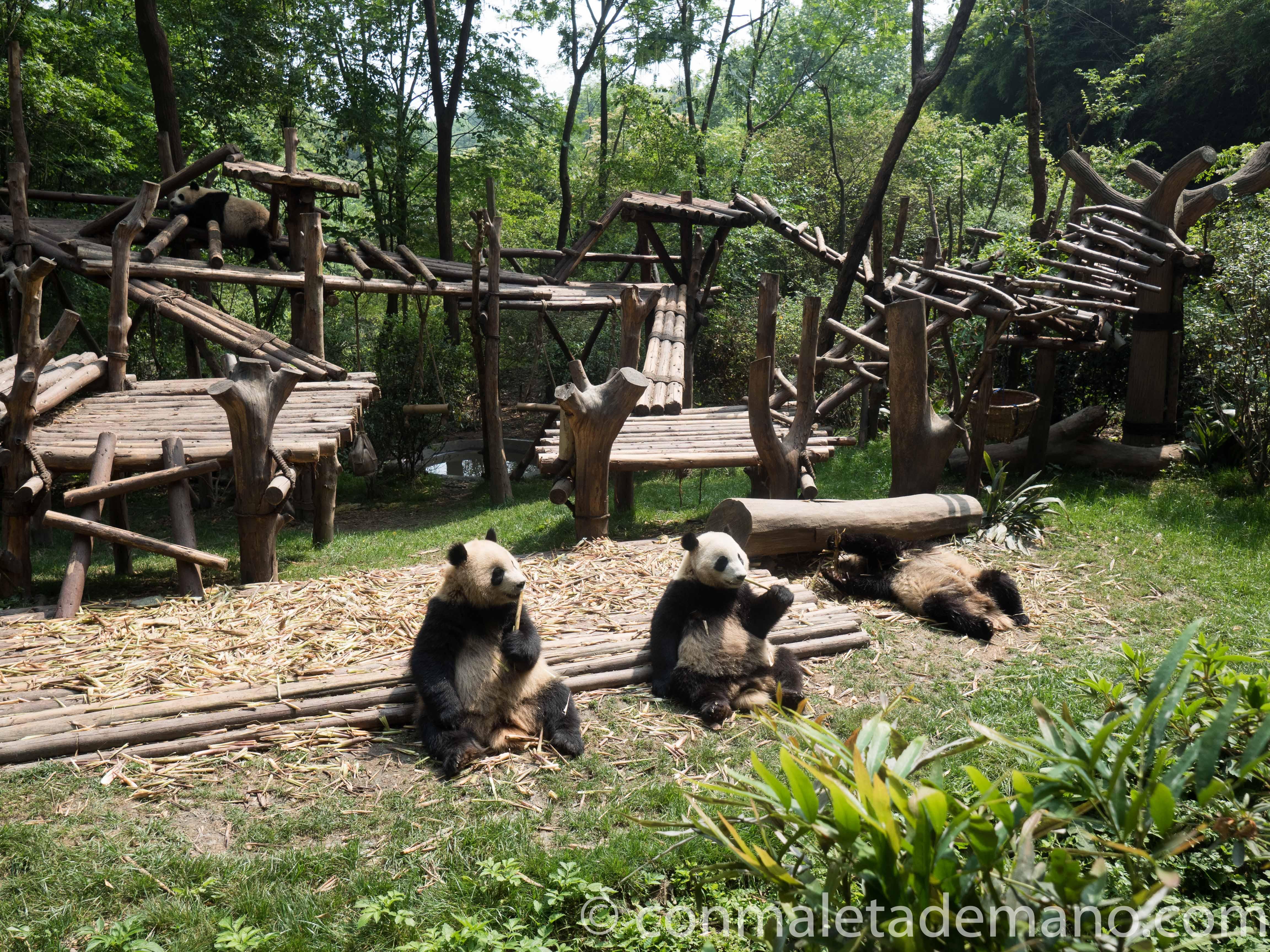 Osos panda en Chengdu