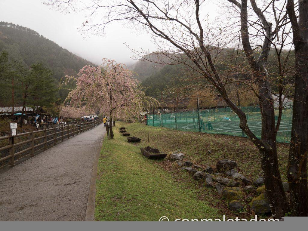 Entrada a Iyashi no Sato, con los cerezos todavía en flor