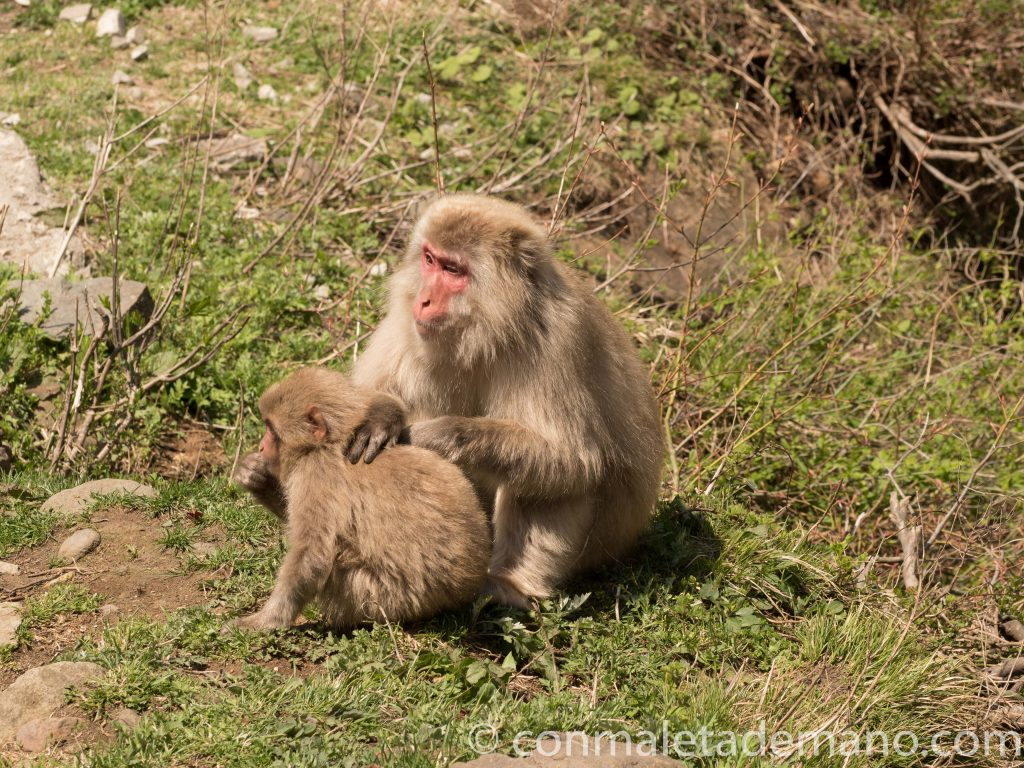 Macacos en Jigokudani