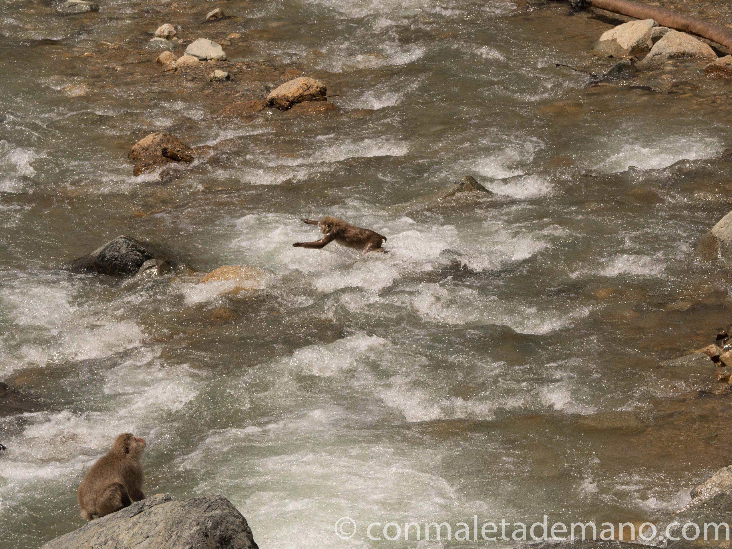 Macaco pegándose un chapuzón en el río