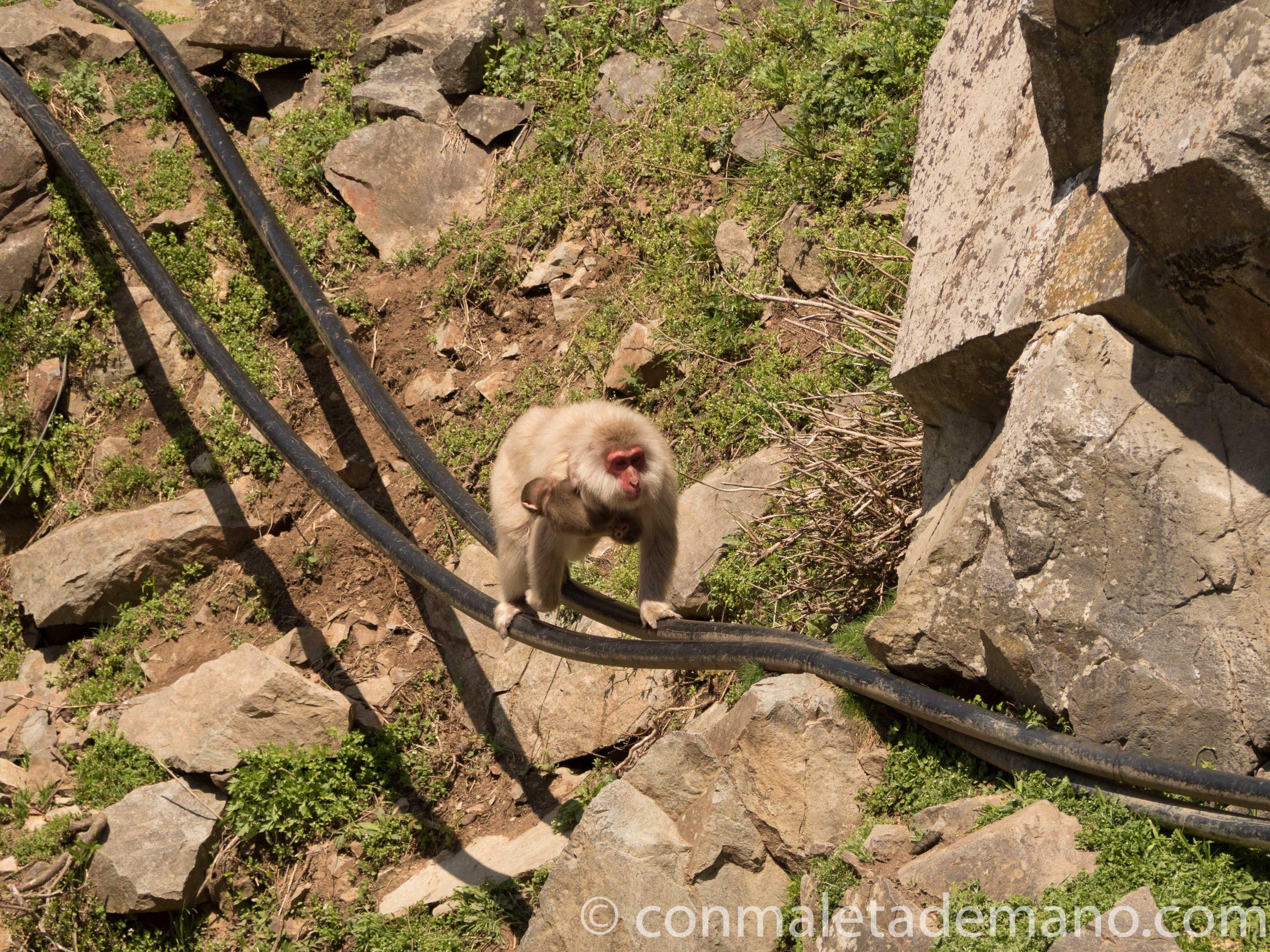 Macaco haciendo equilibrismo en Jigokudani