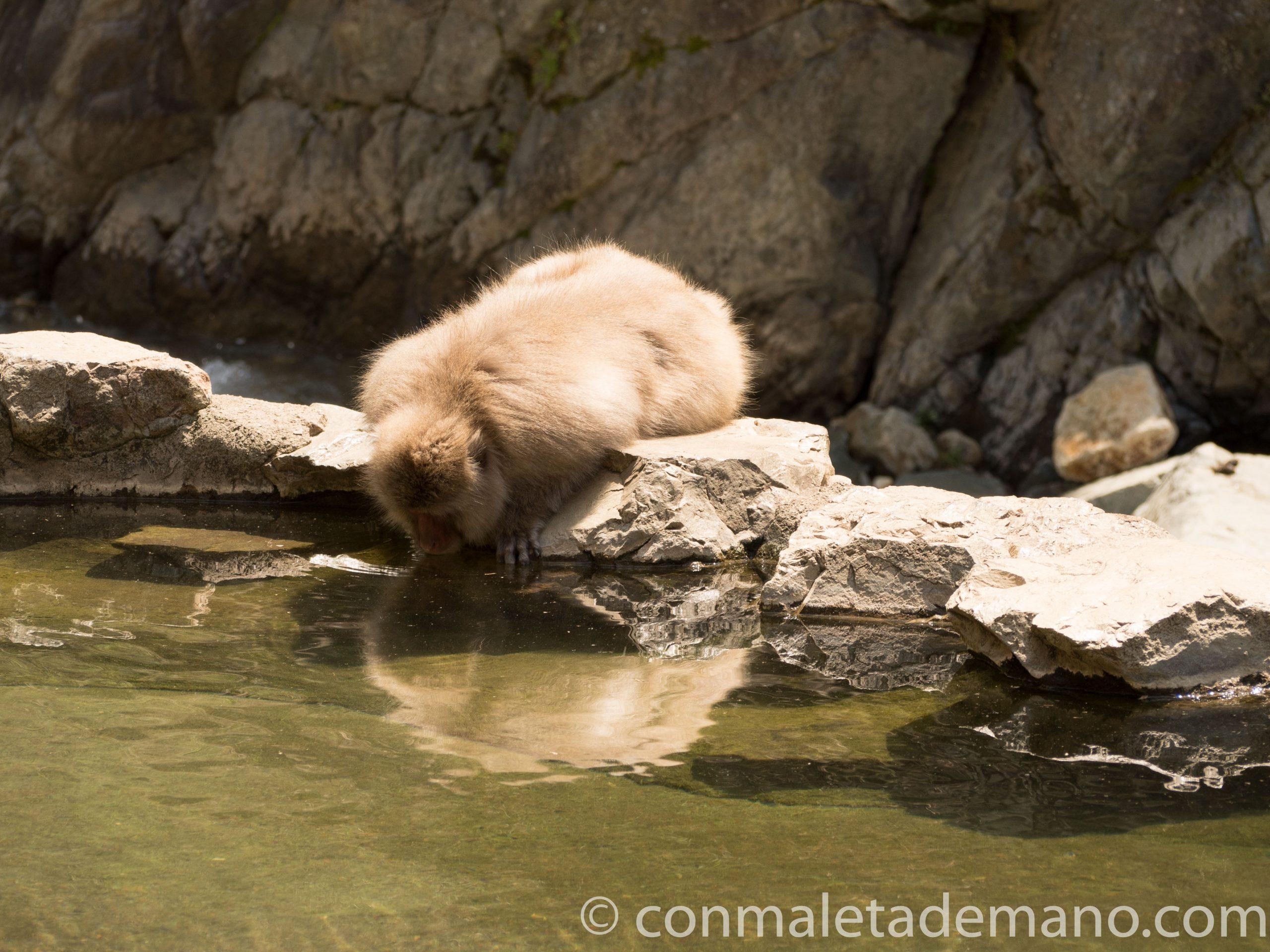Macaco pensando si se mete en el agua o no
