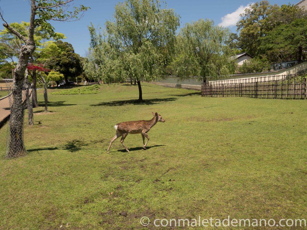 Ciervo en el Parque de Nara